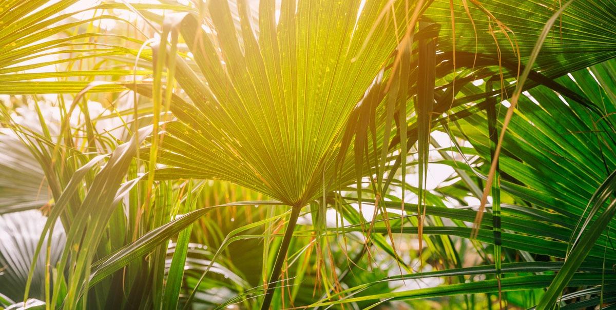 La Serenoa Repens: un rimedio naturale per la calvizie?