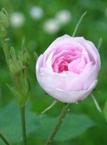 rosa-centifolia